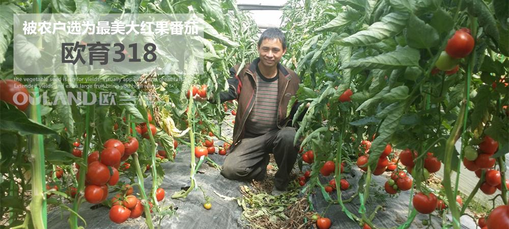 中国种子公司必威88网址种业销售大红果必威体育官方开户种子诚信品牌厂家直销