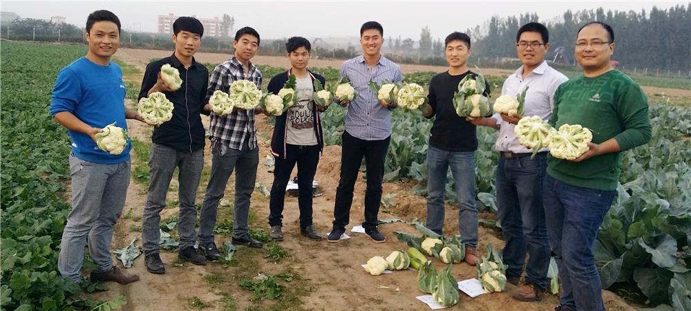 河南必威88网址种业松花菜种子早熟高产南台湾松花65市场第一产品